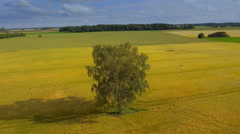 A birch tree on the middle of the cereal field Stock Footage