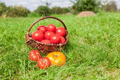 Wicker basket full of fresh ecological red tomatoes in garden on green grass Stock Photos