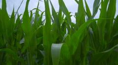 Wind generators on corn field. Closeup of wind turbine rotating on farm field Stock Footage