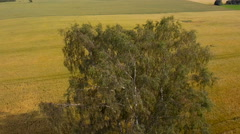 Aerial view of the birch tree in the field Stock Footage