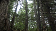 Tilt up-Tall pine trees in Alaskan forest. Stock Footage