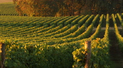 Pan across vineyard rows in morning light, Willamette Valley Oregon Stock Footage