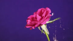 Rose flower in the rain, drops of water shining as diamonds, close up Stock Footage