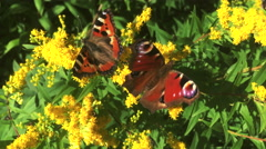 Butterflies on a flowers flapping their bright orange wings Stock Footage