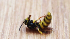 Dying Wasp on the Floor Stock Footage
