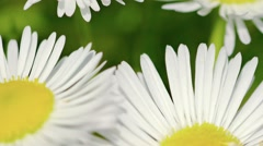 Extreme Closeup of Tiny, White and Yellow Flowers Stock Footage