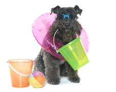 Kerry blue terrier and beach Stock Photos