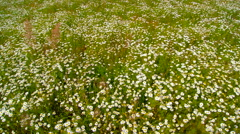 The white daisy flowers on the field Stock Footage