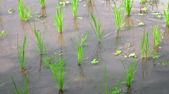 Rice Plants Growing in Shallow Water Stock Footage