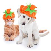 Thanksgiving Halloween Pumpkin Costume Pets Dog and Cat Stock Photos