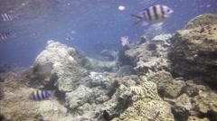 Submerged Perspective of Damselfish amongst the Coral, with Sound Stock Footage