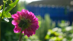 Pink aster flower in the video yard Stock Footage