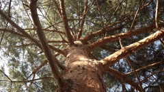 Gazing Up into an Enormous Old Pine with Bird Sounds Stock Footage