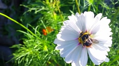 Bumble Bee on a Flower Stock Footage