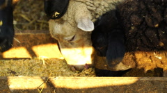 Footage Sheep eating and walking outdoors. 4k Stock Footage