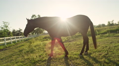 CLOSE UP: Beautiful strong dark bay horse grazing on a big sunny meadow field Stock Footage