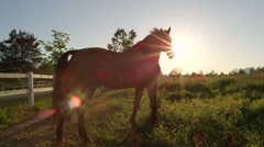 CLOSE UP: Beautiful dark bay horse on a pasture in big meadow field at sunset Stock Footage