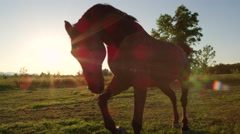 CLOSE UP: Beautiful dark bay horse pasturing and running on field at sunset Stock Footage