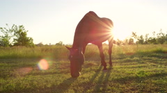 CLOSE UP: Beautiful dark brown horse pasturing on countryside field at sunset Stock Footage