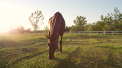 CLOSE UP: Stunning dark brown horse pasturing on countryside field at sunset Stock Footage