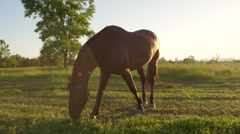CLOSE UP: Mighty dark brown horse pasturing on countryside field at sunset Stock Footage