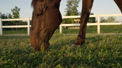 CLOSE UP: Beautiful dark brown stallion gazing and chewing grass at sunset Stock Footage