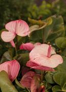 Pink anthurium flower blooms Stock Photos