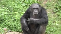 Black Chimpanzee Stock Footage