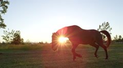 SLOW MOTION: Beautiful dark brown horse pasturing and running on meadow field Stock Footage