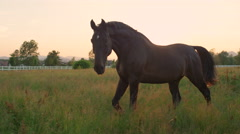 SLOW MOTION: Large elegant horse pasturing on vast grass field at golden sunset Stock Footage