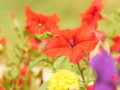 Colorful composition of pink, yellow, red flowers of petunia. Stock Photos