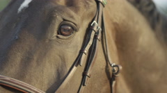 CLOSE UP: Beautiful powerful horse looking into camera and blinking with eyes Stock Footage
