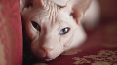 Sphinx cat sitting on a red expensive sofa Stock Footage