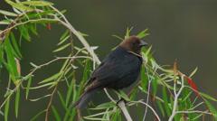 Brown Headed Cowbird Sings and Takes Flight. 4k Stock Footage