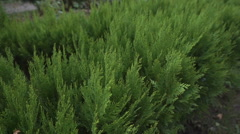 Green shrub background Stock Footage