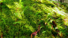 4K Green Moss and Fern Macro Close Up Natural Forest Texture, Beautiful Sunlight Stock Footage
