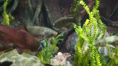 European chubs carp fish swimming Stock Footage