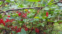 Womans hand full of freshly picked red currants, ribes rubrum Stock Footage
