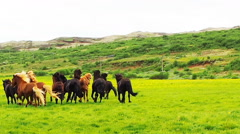 Herd of horses running in the green field Stock Footage