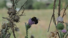 Bumble bee collects pollen and nectar from flowers of thistles Stock Footage