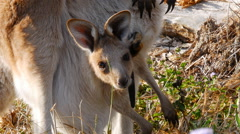 Wild Kangaroo Joey in Pouch Shaking Ears Stock Footage