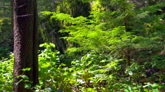 4K Pine Tree and Ferns Green Forest, Lush Forest Landscape Foliage in Spring Stock Footage