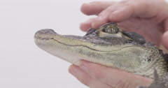 Alligator being handled Stock Footage