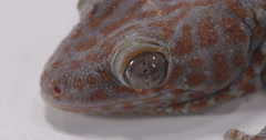 Tokay Gecko close up on eye Stock Footage