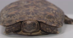 Pancake turtle exit frame left Stock Footage