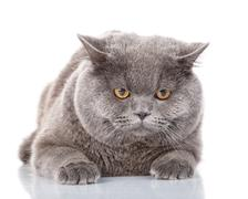 Portrait gray cat British straight with yellow eyes on white Stock Photos
