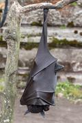 Flying fox close up portrait detail view hanging from a branch Stock Photos