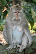 Indonesia macaque monkey ape close up portrait looking at you Stock Photos