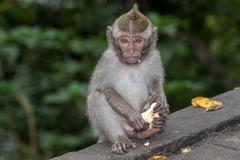 Indonesia macaque monkey ape close up portrait looking at you while eating ba Stock Photos
