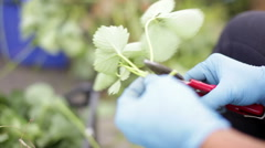 Pruning strawberry seedling Stock Footage